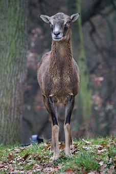 Muflon, Sheep, Wild, Female, Artiodactyl, Standing