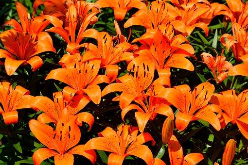 Vibrant, Orange Lily, Flower, Flora, Summer, Nature