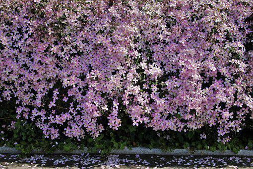 Blooming, The Moat, Clematis, Pink, Garden, Plant