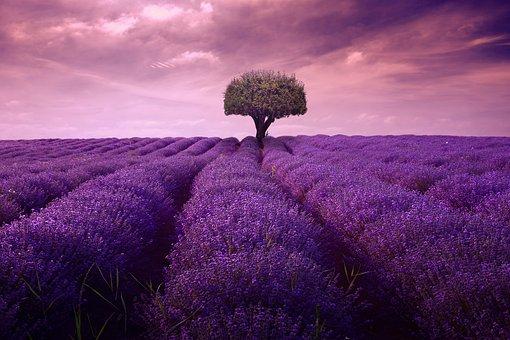 Lavender, Tree, Fineart, Plant, Garden, Purple, Summer