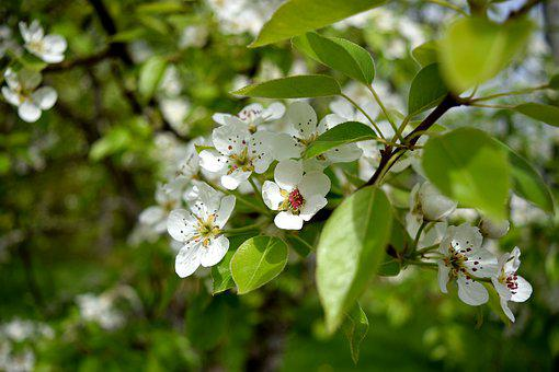 Blossom, Flower, Fruit, Tree, Petals, White, Nature