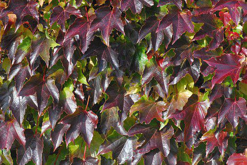 Vine Leaves, Wall, Nature, Autumn, Red, Leaves, Leaf