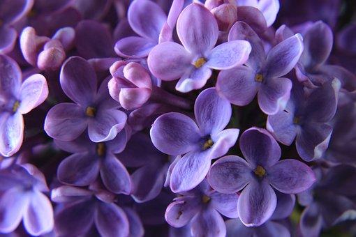 Lilac, Close Up, Purple, Violet, Spring, Blossom