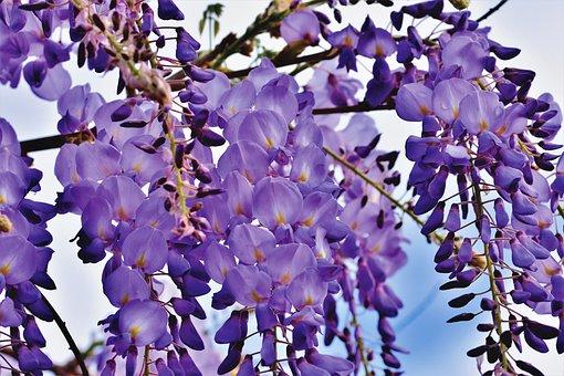 Blue Rain, Flower, Violet, Wisteria, Plant, Blossom