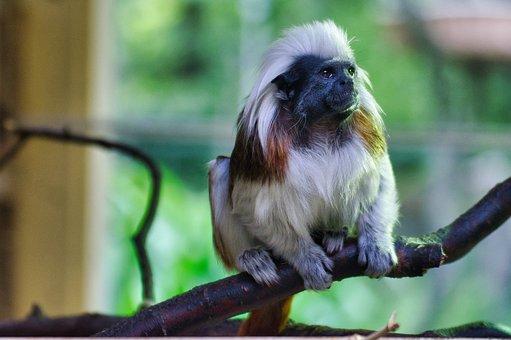 Cottontop Tamarin, Animal World, Cute, Zoo, Monkey