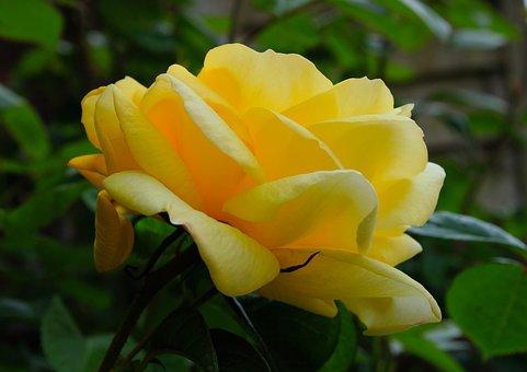 Yellow Rose, Rose, Feeling, Passion, Background, Macro