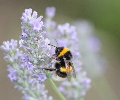 Bee, Lavender, Garden, Pollination, Flower, Violet