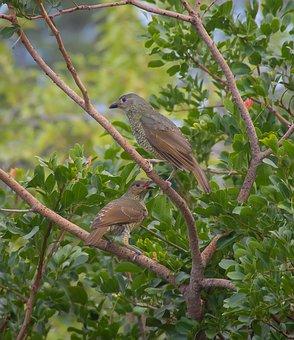 Birds, Satin Bowerbirds, Ptilonorhynchus Violaceus