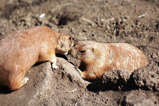 Cynomys, Black-tailed Prairie Dog, Animal, Rodent, Cute