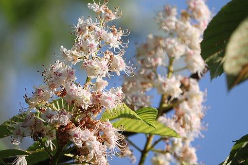 Chestnut Blossom, Chestnut, Blossom, Bloom