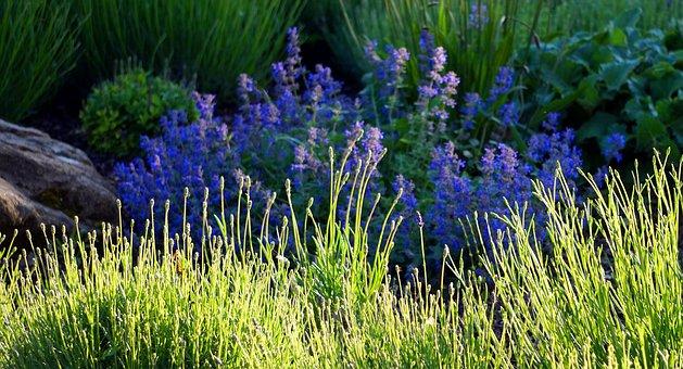 Lavender, Sage, Blossom, Bloom, Nature, Garden, Spice