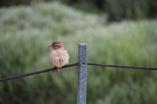 Sparrow, Young, Chick, Birds, Sparrows, Ornithology