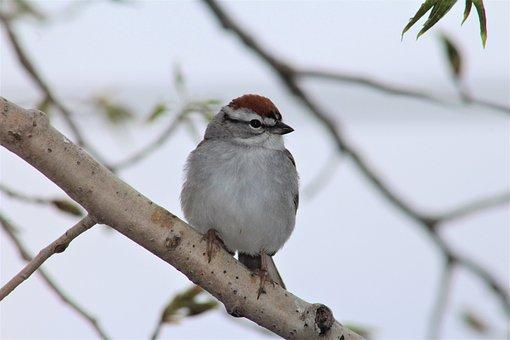 Chipping Sparrow, Sparrow, Bird, Birding, Bird Watching