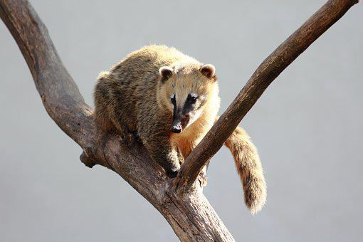 Nasua, South American Coati, Animal, Climb, Tree