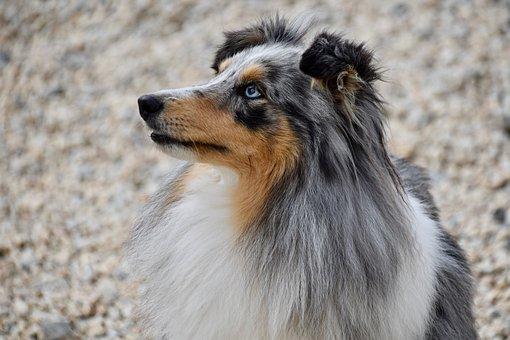 Dog, Dog Berger Shetland, Dog Bounty, Color Blue Merle