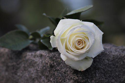 Single White Rose, Purity Symbol, Condolence