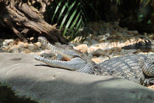 Zoo, Crocodile, Reptile, Predator, Animal, Dangerous