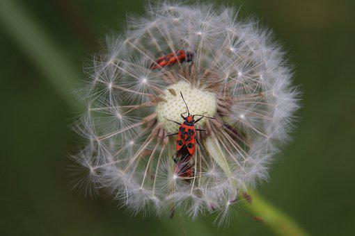 Dandelion, Egret, Bug, Insects, Entomology, Botany
