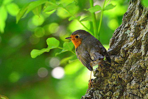 Robin, Bird, Animal, Beak, Feather, Plumage, Perched