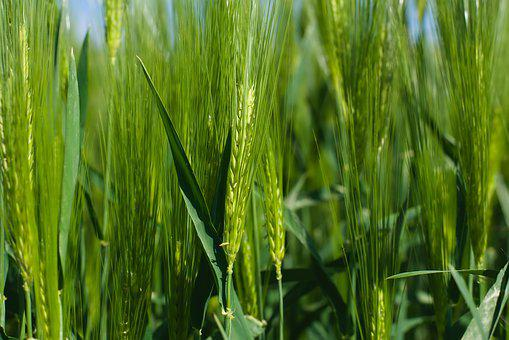 Wheat, Field, Agriculture, Grain, Cereals, Farm