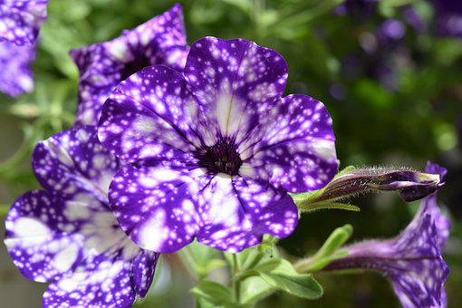 Flower, Flower Color Purple And White, Flower Bud