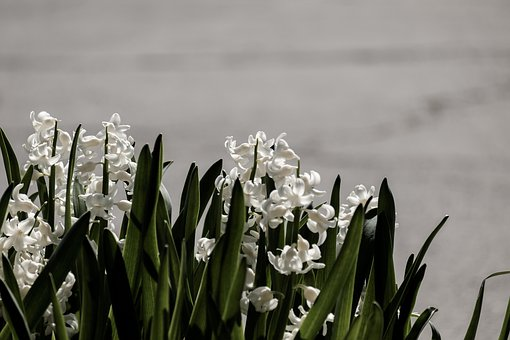 Background, Hyacinth, Flower, Nature, Spring, Flowers