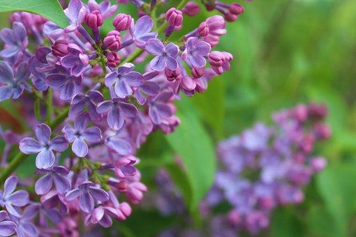 Flower, Lilac, Purple, Spring, Fragrant, Green