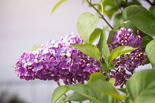 Lilac, Pink, Violet, Flowers, Bloom, Branch, Spring