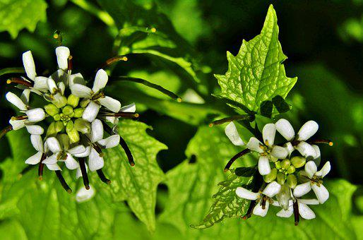 Garlic Herb, Garlic Mustard, White Flowers, Wild Flower