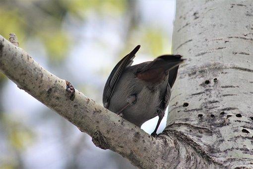 Gray Catbird, Bird, Birding, Gray, Birch Tree, Perched