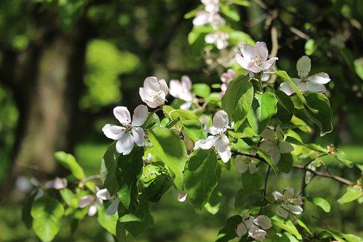 Quince, Quittenbaum, Fruit Tree, Kernobstgewaechs