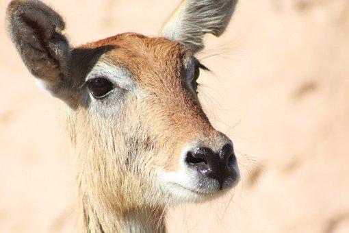 Kobus Leche, Lechwe, Antelope, Animal