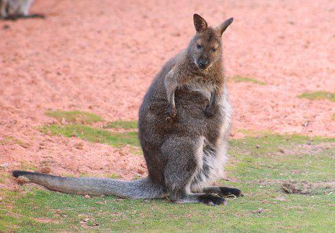 Macropus Rufogriseus, Red-necked Wallaby, Wallaby