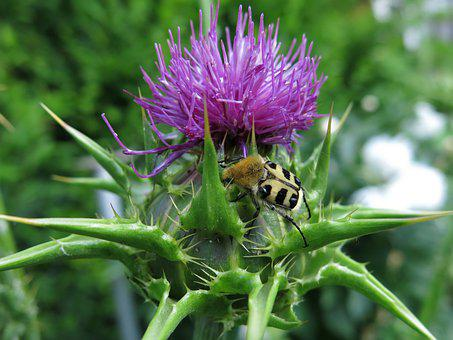 Banded Brush Beetle, Trichius Fasciatus, Milk Thistle