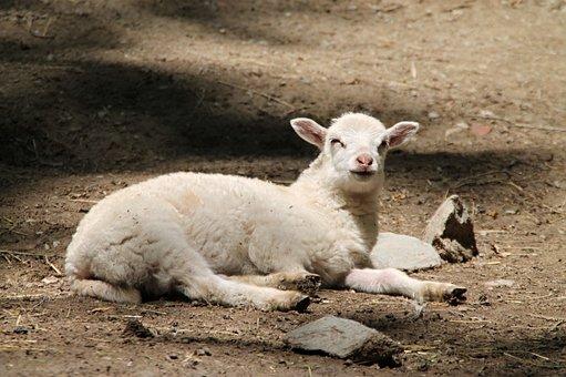 Goat, Kid, Animal, Fur, Mammal, Cub, Nature, Farm