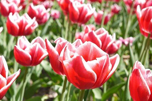 Red, Tulips, Field, Parterre, Spring, Garden, Flower