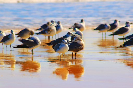 Seagulls, Birds, Alcatraz, Pelican, Seagull, Sky