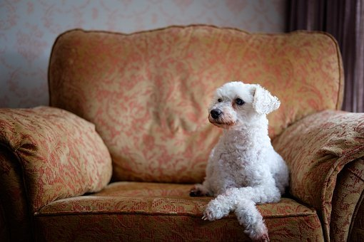 Dog, Chair, Pet, Cute, Animal, Poodle, Sitting
