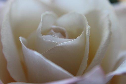 Flower, Rose, White, Up-close, Pink, Petals