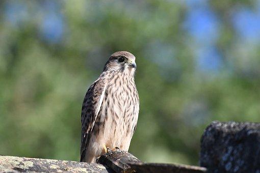 Falcon, Kestrel, Nature, Bird, Predator, Wild, Beak