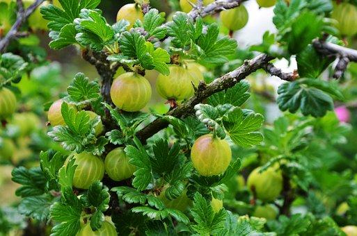Gooseberry, Piszke, Pöszméte, Sour, Thorn, Pungent