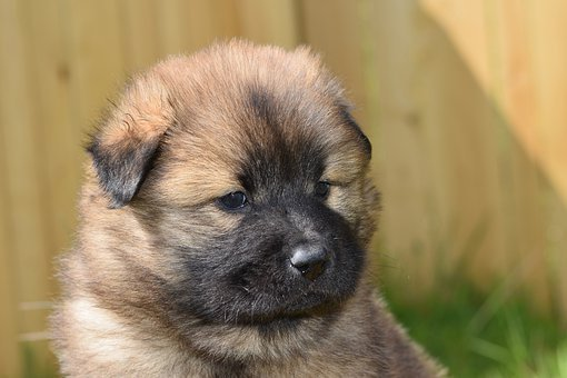 Dog, Small Dog, Eurasier Puppy, Pup, Dog Mask Black