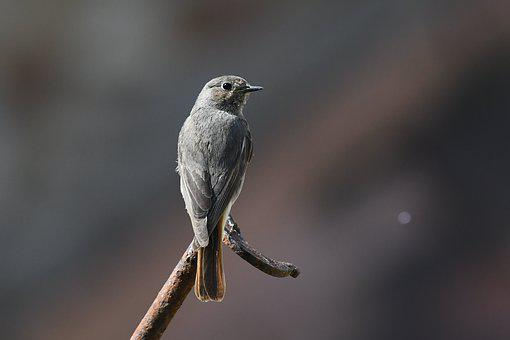 Bird, Nature, Feathers, Garden, Ornithology, Red-tail