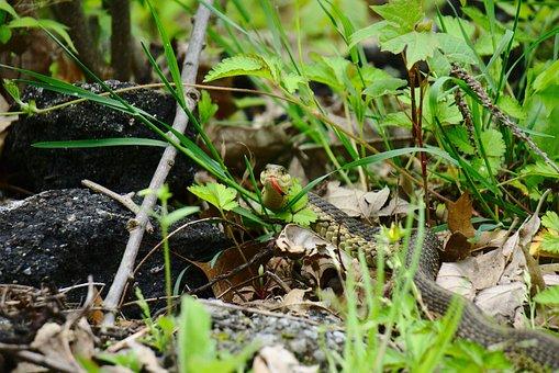 Snake, Garter Snake, Detroit, Belle Isle, Reptile