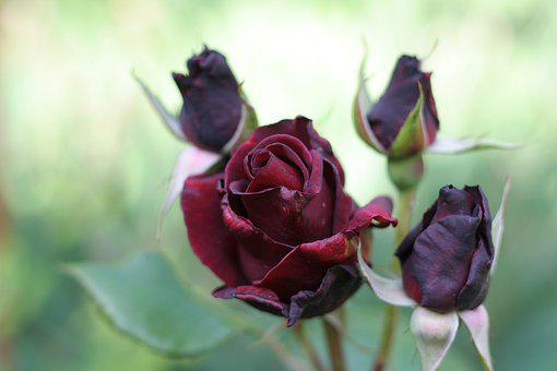 Rose, Flower, Blooms At, Nature, Floral, Romantic, Red
