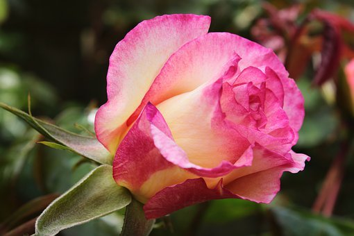 Pink Rose, Bicolor Rose, Rose, Feeling, Passion