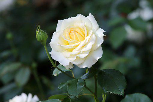 Rose, Roses Flowers, Flowers, Romantic, Romance, Plants