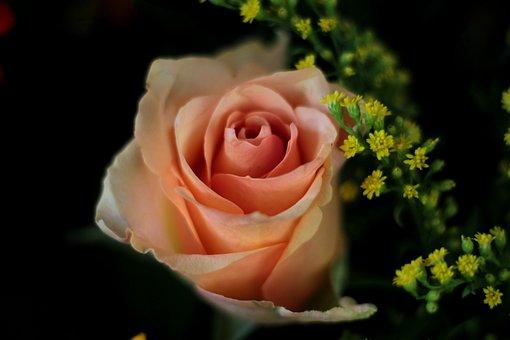 Rose, Salmon, Petals, Flower, Orange, Beauty, Summer