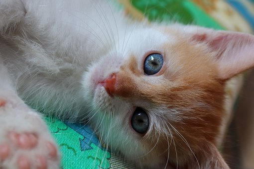 Cat, Cat Baby, Red, Small, Domestic Cat, Kitten