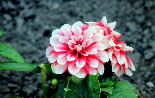 Dalia, Flower, Figure, The Petals, White, Red, Spring
